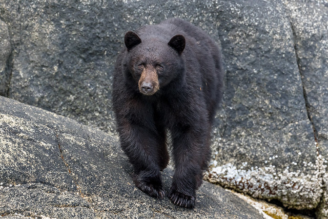Black Bear - Not, Canon EOS 7D MARK II, Canon EF 500mm f/4L IS