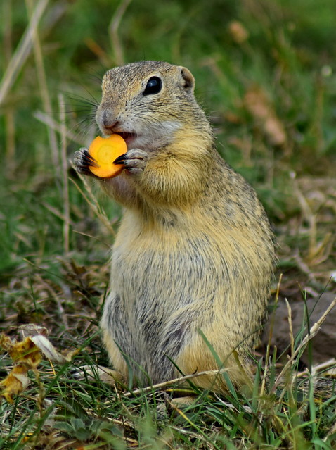 ground squirrel and carrot...sysel s mrkví