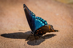 iridescence of the red-spotted purple butterfly