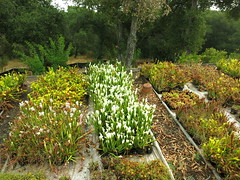 Sarracenia leucophylla Hurricane creek white