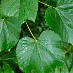 Vernicia+fordii+%28Tung-oil+Tree%29