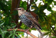 Juvenile Starling   Sturnus vulgaris