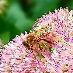 Bee on stonecrop.