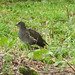 Golf course moorhen chick