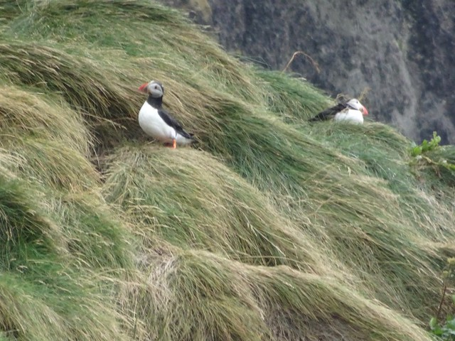 Puffins Above the Beach