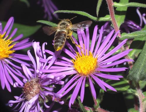 Honey Bee In Flight and Aster Flowers DSCF5086