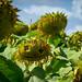 178/365 - Sunflowers by J Zachary