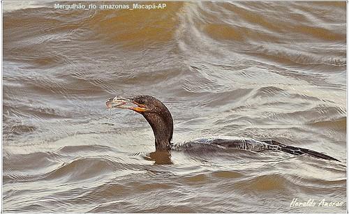 Mergulhao_orla rio amazonas_Macapá-AP