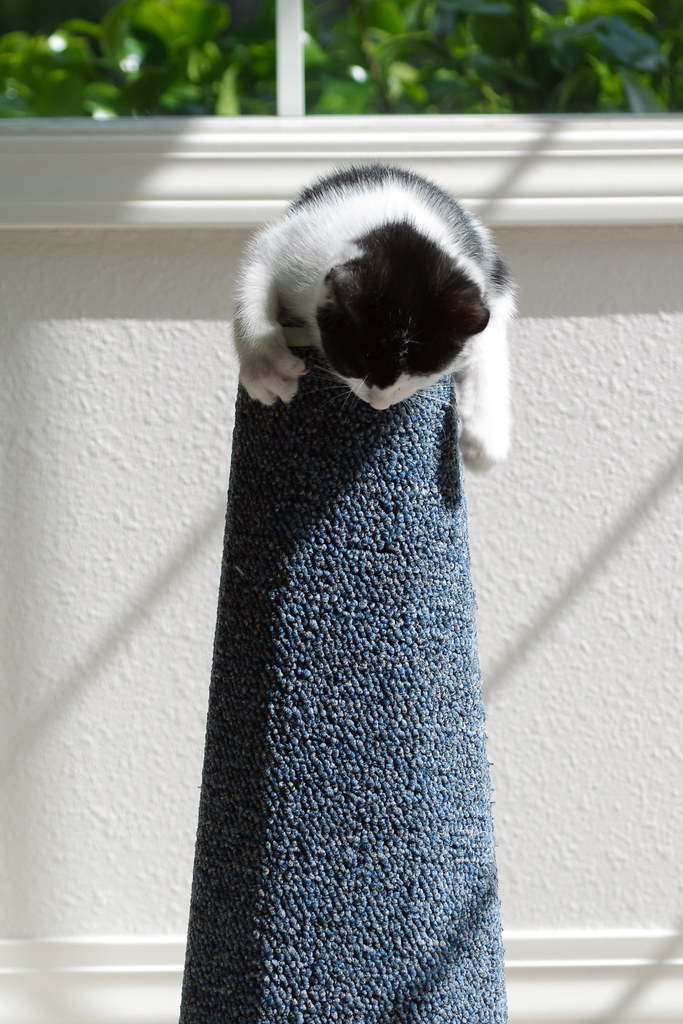 Our cat Scout at two months old looking down from the top of the scratching post