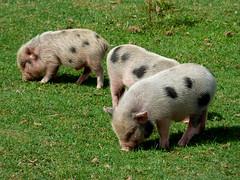 Cerza Zoo - piglets (6)