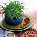 Mini-Aloe bringen Natürlichkeit ins Interieur
