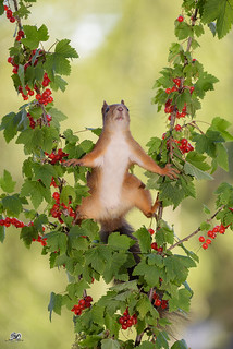 squirrel  between branches with red currant