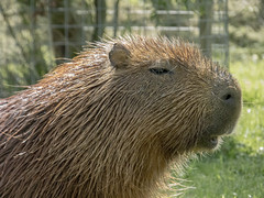 Capybara - biggest rodent