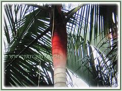 3 m long pinnate leaves of Dypsis leptocheilos (Redneck Palm, Teddy Bear Palm, Red Fuzzy Palm), 6 Sept 2017