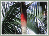 Dypsis leptocheilos (Redneck Palm, Teddy Bear Palm, Red Fuzzy Palm)
