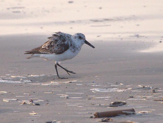 Sandpiper 02-20170817