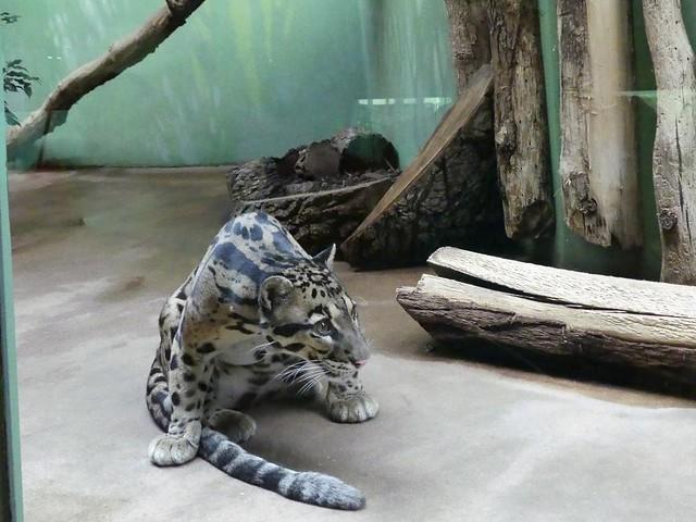 Nebelparder, Zoo Prag