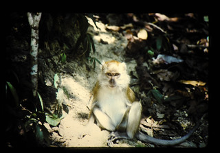 ペナン植物園の猿