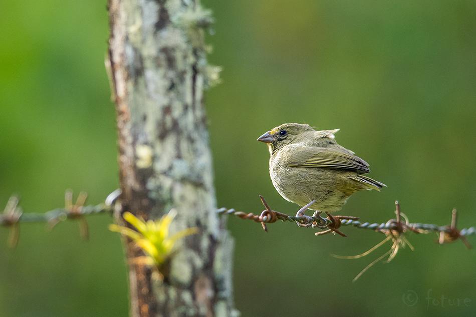 Yellow, faced, Grassquit, Tiaris, olivaceus, olivacea, Curi, Cancha, Reserve, Monteverde, Cloud, Forest, Costa Rica, Kaido Rummel