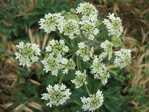 12 whiteflower