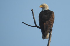 Bald Eagle at Scientists Cliffs, Maryland