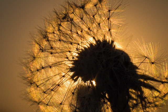 Dandelion at first light, Canon EOS 760D, Canon EF 100mm f/2.8L Macro IS USM