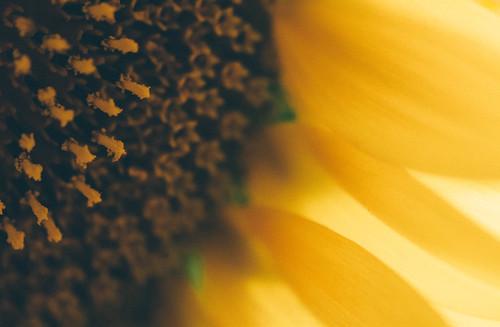 Retro Sunflower