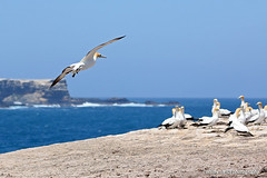 Australasian Gannets_4062
