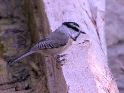 Mountain Chickadee 01-20170911