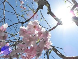 降る桜 2