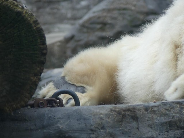 Eisbärtatze, Zoo Prag
