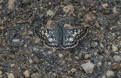 Checkered Skipper On Old Airport Runway