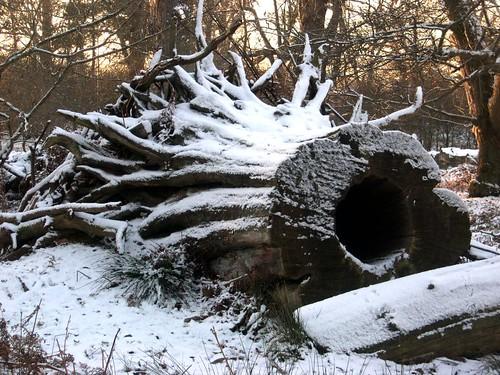 Fallen tree Knowle Park