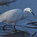 little egret 50 2017 with fish