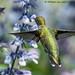 Ruby Throated Hummingbird (20170924-DSC08956-Edit)