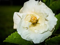 2017-08-26_P8263049_white hibiscus,clwtr