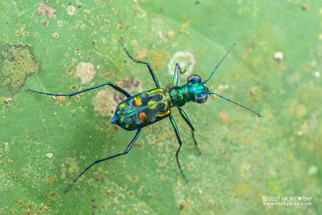 Tiger beetle (Cylindera sp.) - DSC_8510