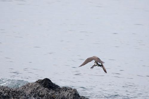 日, 2017-08-13 07:29 - 仕留めた獲物を運び去るハヤブサ ー 照ヶ崎海岸