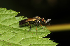 Diptera, Asilidae, Stenopogoninae, Eudioctria sp. (Robber Fly) - Everett, WA USA.