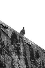 pigeon curiosity