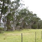 Cupressus macrocarpa windbreak