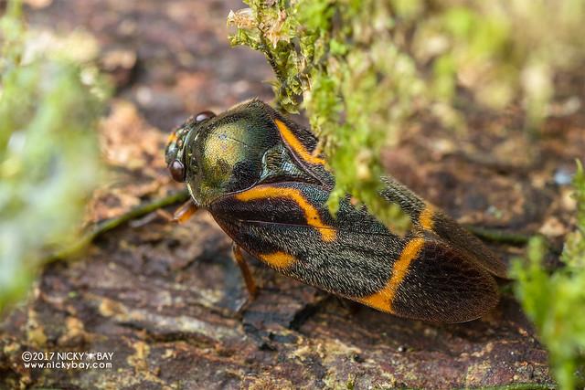 Froghopper (Cercopidae) - DSC_8960