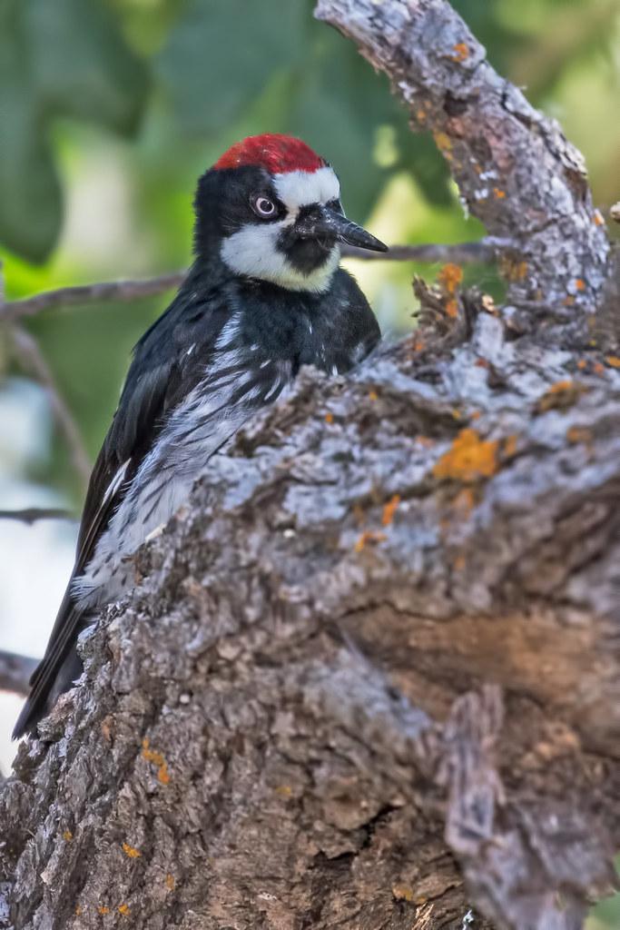 Acorn-Woodpecker-197-7D2-070917