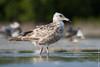 Gaviota Plateada - Herring Gull