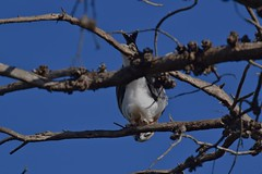 Black shouldered Kite ( looking for dinner )