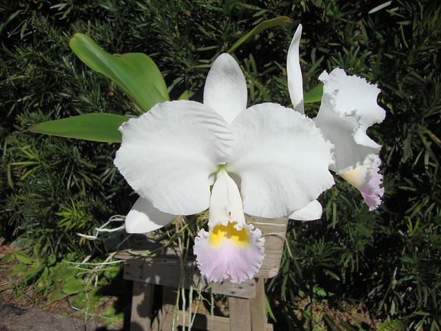 Cattleya trianae amesiana