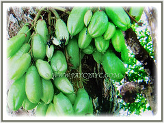 A single tree of Averrhoa (Bilimbi, Bilimbi Tree, Cucumber Tree, Tree Sorrel, Belimbing Asam/Buloh in Malay) bilimbi can often yield many hundreds of fruits, 19 Aug 2017