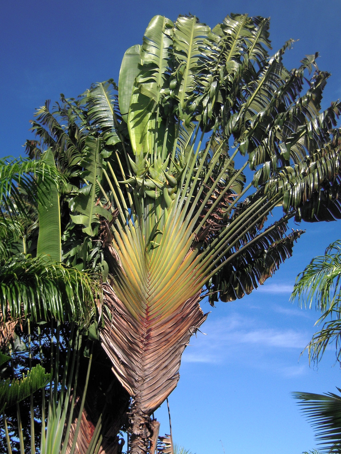 Madagascar's iconic traveler's palm (Ravenala madagascariensis) features in the national emblem.