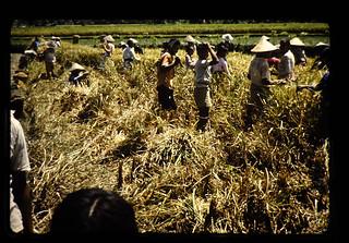 穂刈収穫風景(ボロブドール)