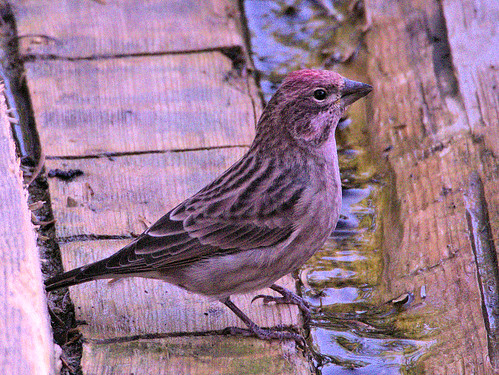 Cassin's Finch male 4-20170911